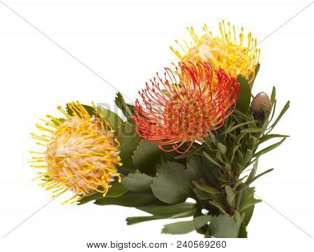 Red And Yellow Protea Isolated