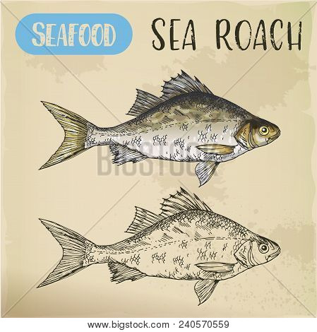 Common Sea Slater Or Roach Sketch. Signboard With Hand Drawn Mediterranean Fish. Aquatic Fauna For R