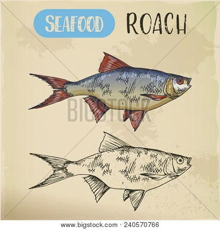 Sea Roach Sketch Or Hand Drawn River Fish. Signboard With Common Slater. Underwater Mediterranean Fi