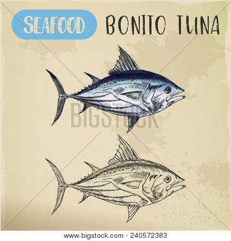Bonito Sketch, Hand Drawn Sardini Tribe Fish Or Tuna, Seafood Mackerel For Restaurant Menu Or Sport