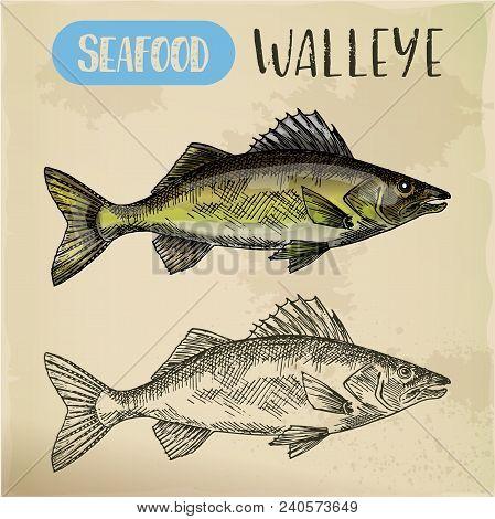 Sketch Of Yellow Or Blue Walleye. Hand Drawn Perciform Fish Or Zander. Sea Or Ocean, River Pickerel