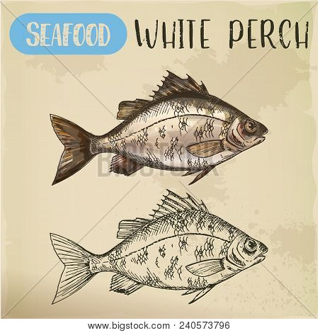 European White Perch Sketch. Signboard With Hand Drawn Silver Bass, Crappie, River Seafood Animal. P
