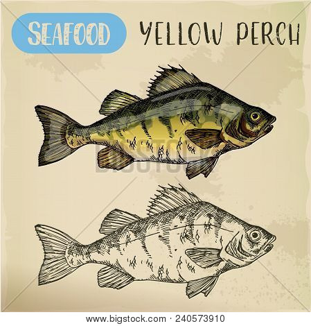 Sketch Of Yellow Perch. Hand Drawn European Perca For Sport Fishing Trophy Or Restaurant Menu, Store