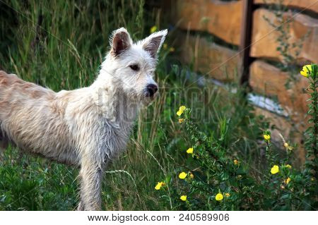White Mongrel Dog On The Street Near Plants With Yellow Flowers