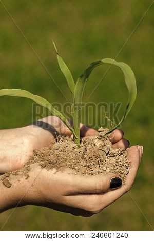 Hand Hold Sprout In Ground, New Life. Agriculture, Growing Plants, Plant Seedling. Protect Nature, N