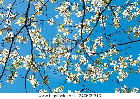 Dogwood Tree Blossom At Springtime In Park. Spring Natural Background.