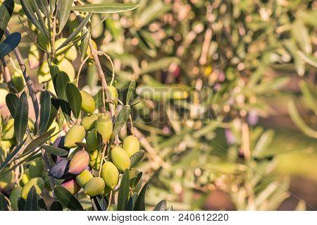 Closeup Of Sunlit Kalamata Olives Ripening On Olive Tree