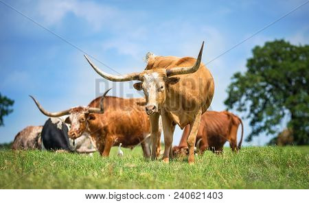 Texas Longhorn Cattle Grazing On Spring Pasture. Blue Sky Background With Copy Space.
