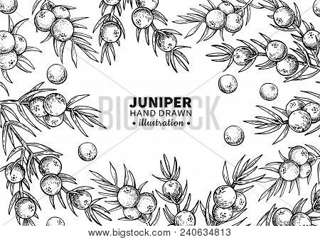 Juniper Vector Drawing Frame. Isolated Vintage  Template Of Berry On Branch. Organic Essential Oil E