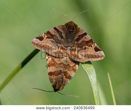 Burnet Companion (euclidia Glyphica) Moths In Cop. Pair Of Moths In The Family Noctuidae Mating, Sho