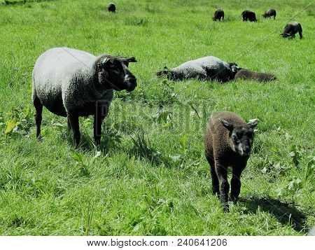 A Baby Black Sheep, And An Adult White Sheep, Standing On Grass, As Other Sheep Rest Or Eat On The B