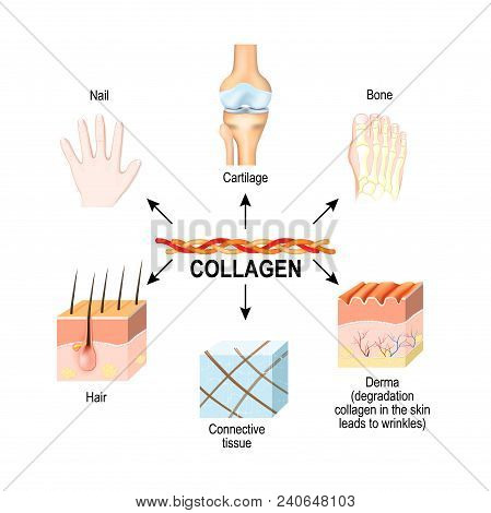 Collagen Is The Main Structural Protein In The: Connective Tissues, Cartilages, Bones, Nails, Derma