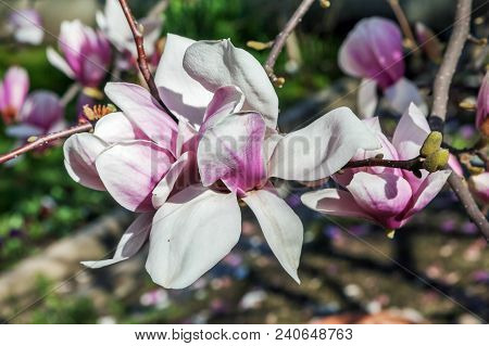 Beautiful Flower Of Magnolia Soulangeana. Russia, Sochi.