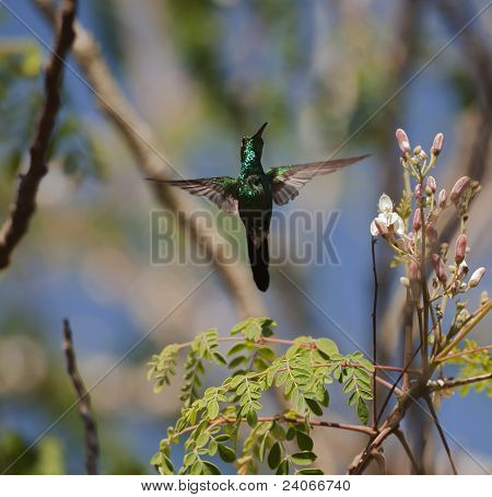 The Cuban Emerald In Flight