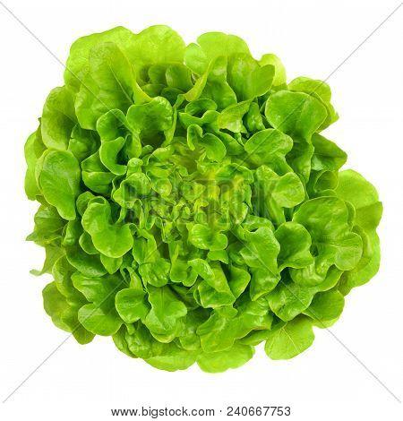 Salanova Green Oak Leaf Lettuce From Above. One Cut Ready, Loose Leaf Lettuce, Linear, Lobed And Loo