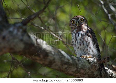 Cuban Pygmy-owl.  Glaucidium Siju