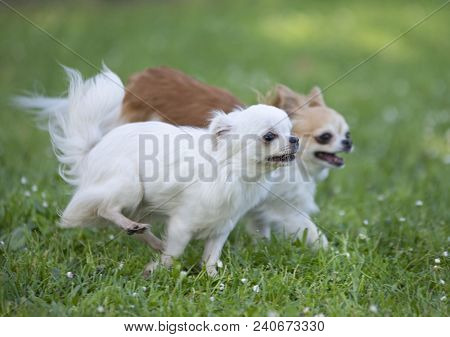Purebred Chihuahua In A Garden In Spring