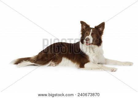 Purebred Collie Border Breed Dog, Three Years Old, Lying  In Front Of White Background
