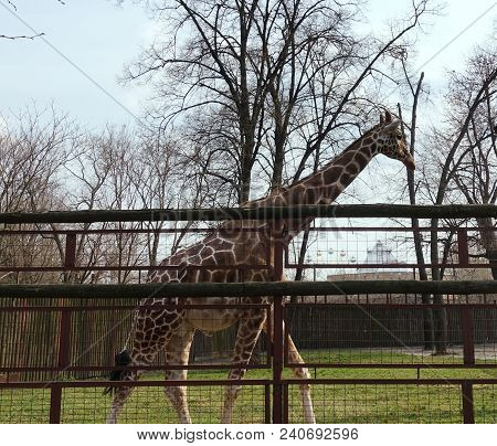A Tall Giraffe In The Open Zoo Enclosure. A Tall Giraffe In The Open Zoo Enclosure. Spring Day
