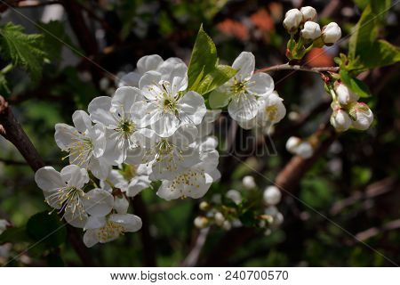 Close-up Of White Cherry Flowering Tree Branch In The Spring Garden.