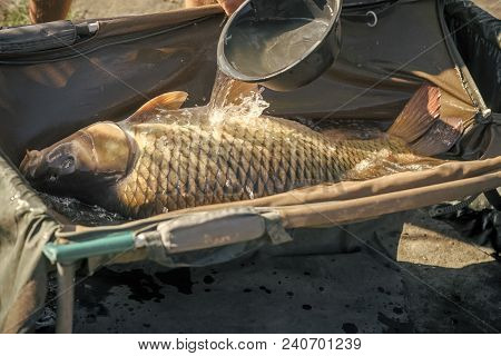 Big Carp In Water Poured From Bowl, Capture. Fish With Shining Scales On Sunny Day, Fishing. Carp Fi