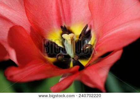 Close-up Of Red Tulip Flower In The Spring Garden. Phtography Of Nature.