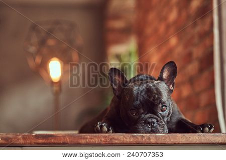 Upset Black Purebred Pug Lies On A Table In The Studio With A Loft Interior.