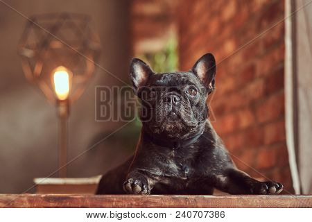 Cute Black Purebred Pug Lies On A Table In The Studio With A Loft Interior.