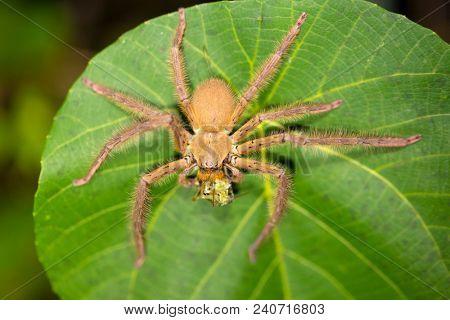 Huntsman spider eating prey on a leaf at nightime, Indonesia