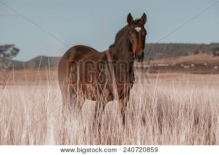 Australian Horse In A Country Paddock.