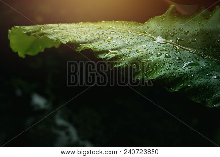 Rain Drop On Green Leaves After Raining With Sunlight