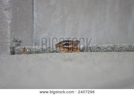a chipmunk sticks its head out of its hiding place poster