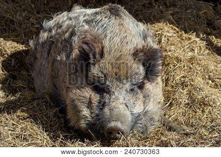 Wild Boar (sus Scrofa) Sleeping On Straw