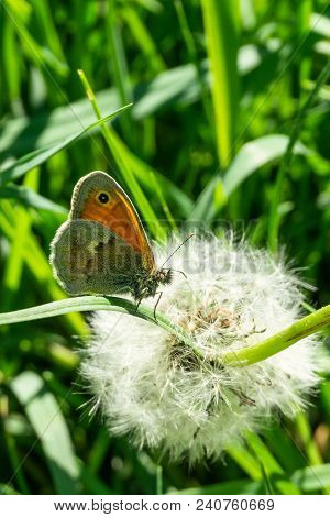 Nice Small Orange Butterfly Perched On Grass In Front Of Faded Dandelion