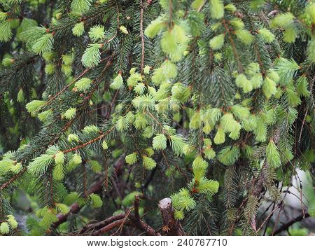 Pine Tree Buds In Spring