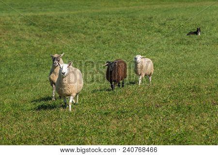 Sheep Dog Lies Down Watching Sheep (ovis Aries) Walking In - At Sheep Dog Herding Trials
