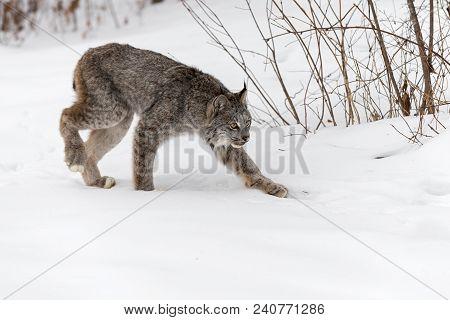 Canadian Lynx (lynx Canadensis) Stalks Right - Captive Animal