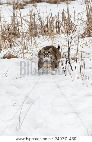 Bobcat (lynx Rufus) Prepares To Leap Straight Up - Captive Animal