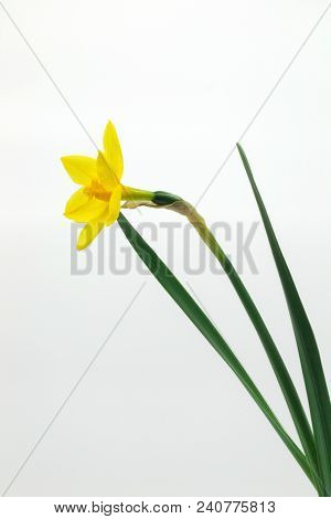 Beautiful Yellow Daffodil Isolated On White Background
