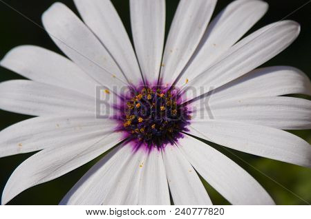 The Spirit Of Things: Macro Of White Daisy Flower With Purple Center
