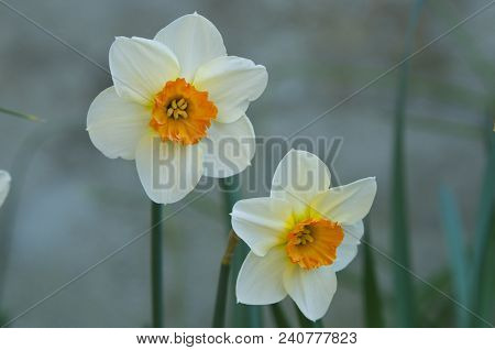 Twins: A Pair Of Narcissus Flowers In Burgundy, France