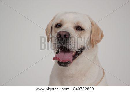 Cute Labrador Retriever Close Up. Pet Animals. Purebred Dog.