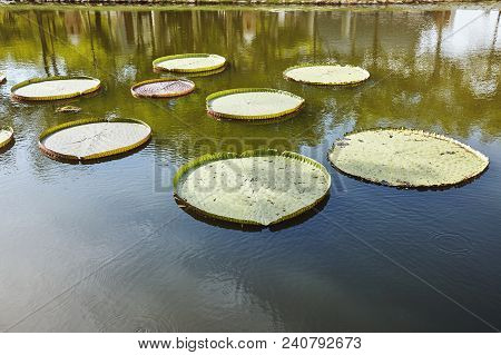 A Group Of Big Green Lotus Leaves In The Pond With Sun Light Reflection On The Tranquil Water