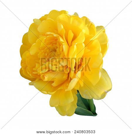 Terry Yellow Tulip Isolated On White Fon