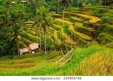 Terrace Rice Fields In Tegallalang, Ubud On Bali, Indonesia