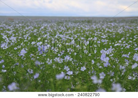 Tiny Cute Viola Flowers On A Summer Field