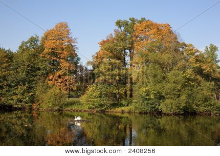 Swans in autumn park in sunny day poster