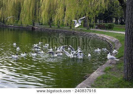 Feeding Gulls On Lake In Spring City Park. Black-headed Gull (chroicocephalus Ridibundus) Birds Swim