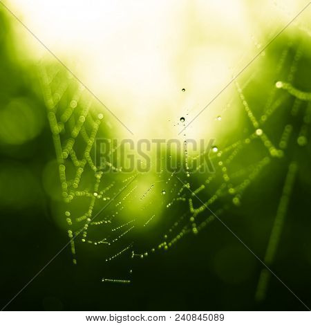 Spiderweb with Dew Drops in the Sunny Morning Forest. Close up photo of Cobweb.