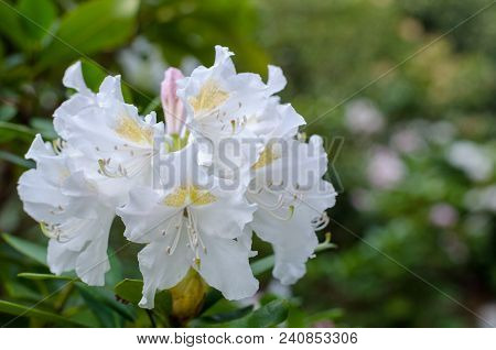 Big White Rhododendron Flower In Botany. Close-up
